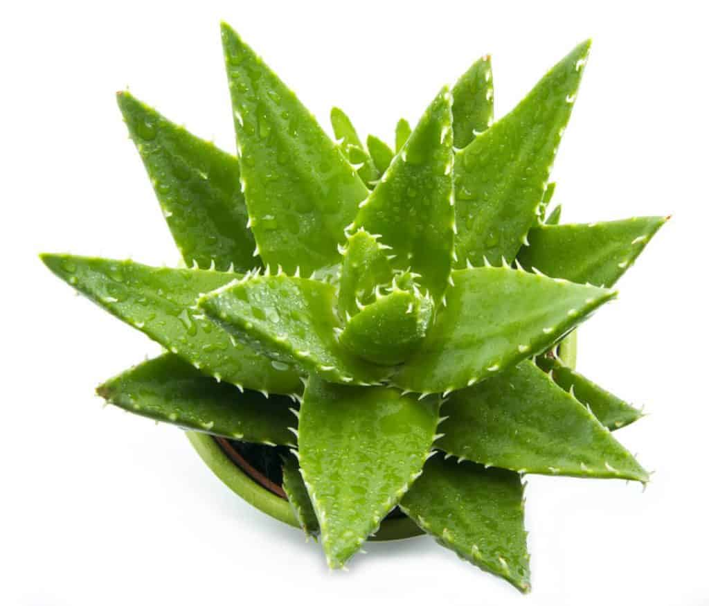 Aloe Vera Plant with Leaves on White Background