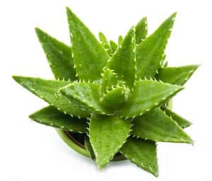 Easy-care indoor Aloe Vera Plant with Leaves on White Background