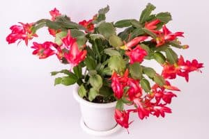 Easy-care indoor plant Christmas Cactus with Red Flowers in White Planter