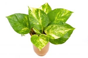 Easy-care Pothos plant with large green leaves with yellow color variant in terra cota color  planter