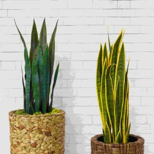 2 easy-care indoor snake plant varieties in planters against white brick wall