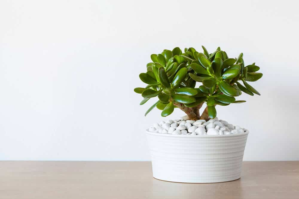 Easy-care Jade Plant in white planter with white rocks on a wood table top with a white wall behind it.