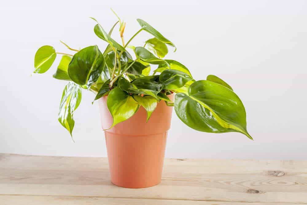 Philodendron heartleaf plant in a terra-cotta colored planter placed on a wooden table with a white background.